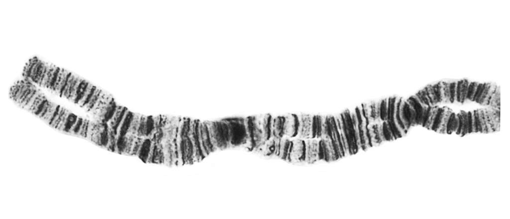 Fragment of a stained chromosome of a larval black fly. This example shows the barcode-like banding pattern that can be used to discover new species and develop an accurate means of identification.